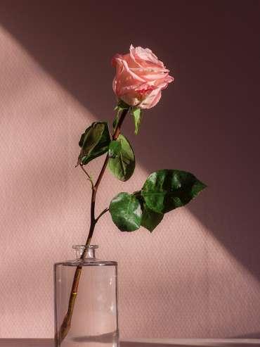 learning Dutch - rose