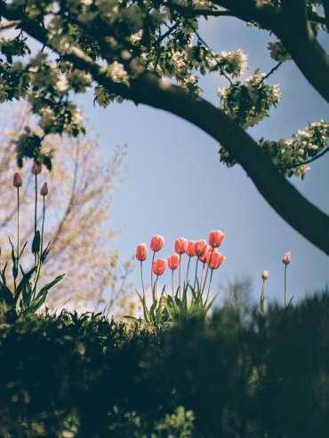 learning Dutch - tulips